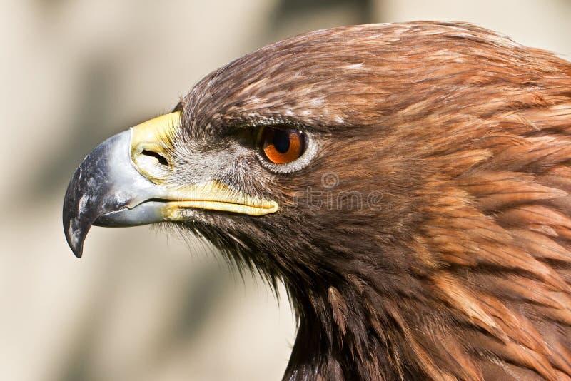 Download στενός χρυσός επάνω αετών στοκ εικόνες. εικόνα από μαύρα - 17057948