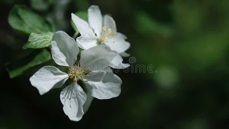 στενό δέντρο ανθών μήλων επάνω στοκ εικόνες