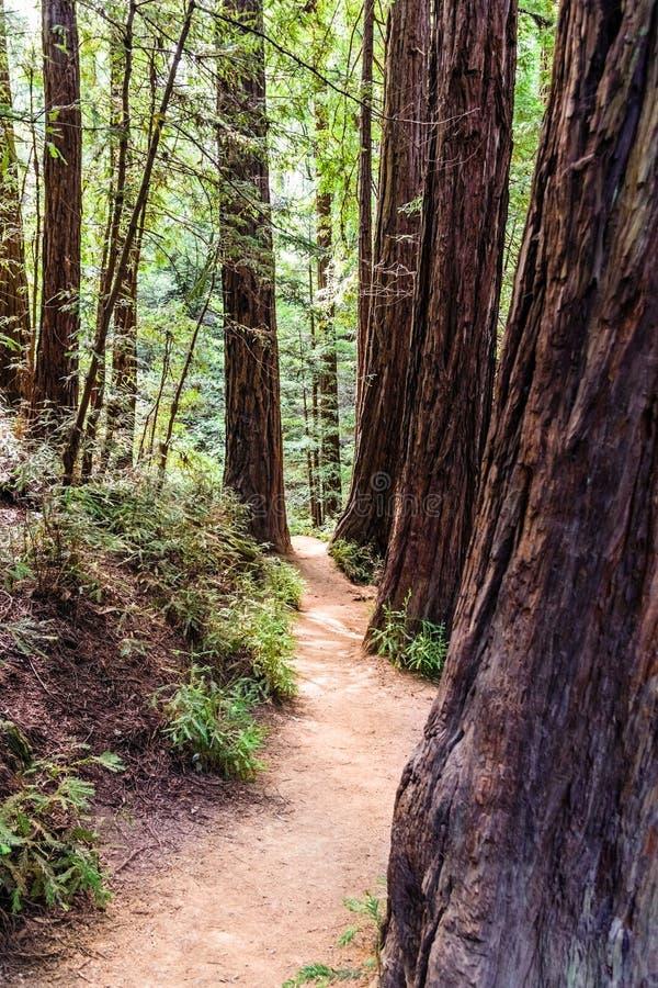 Στενό ίχνος πεζοπορίας μεταξύ των δέντρων redwood στοκ φωτογραφία με δικαίωμα ελεύθερης χρήσης