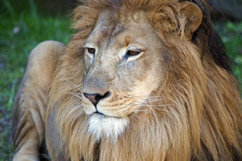 Download στενό αρσενικό λιονταριών στοκ εικόνες. εικόνα από αιχμαλωσία - 62717216