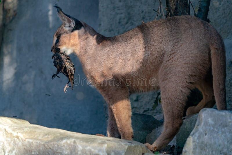 Στενό επάνω πορτρέτο γατών Caracal άγριο wwhile τρώγοντας ένα πουλί στοκ φωτογραφία