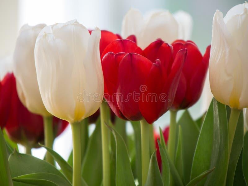 στενό κόκκινο λευκό του&la στοκ εικόνα