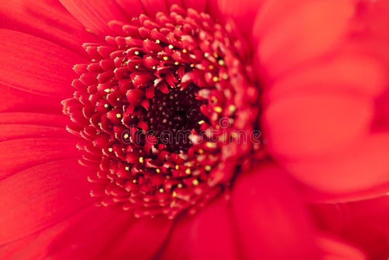 Download στενό κόκκινο μαργαριτών ε στοκ εικόνες. εικόνα από ροζ - 13182580