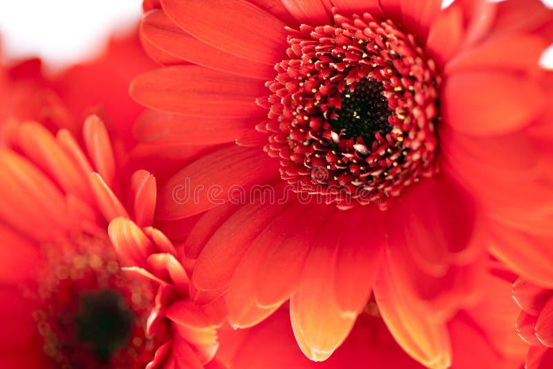 Download στενό κόκκινο μαργαριτών ε στοκ εικόνες. εικόνα από λουλούδι - 13182670