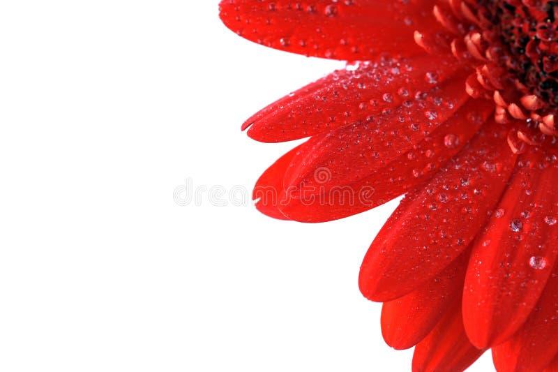στενό κόκκινο gerbera επάνω στοκ εικόνες με δικαίωμα ελεύθερης χρήσης
