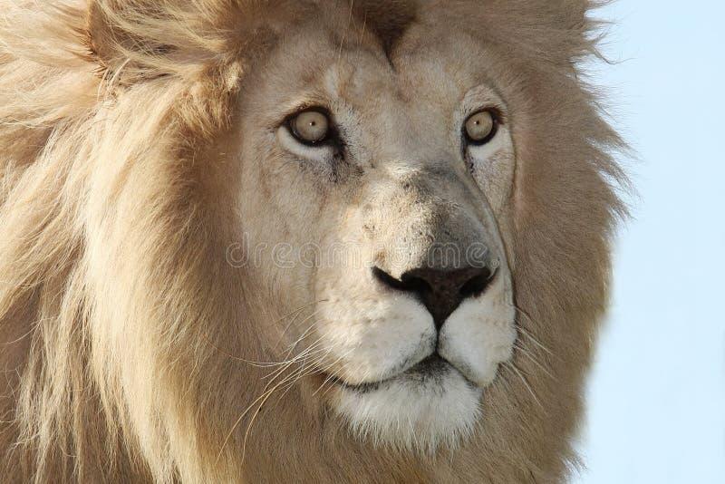 στενό λευκό λιονταριών ε&pi στοκ φωτογραφίες με δικαίωμα ελεύθερης χρήσης