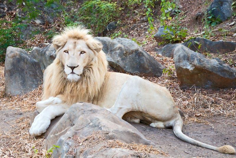 στενό λιοντάρι επάνω στοκ εικόνες
