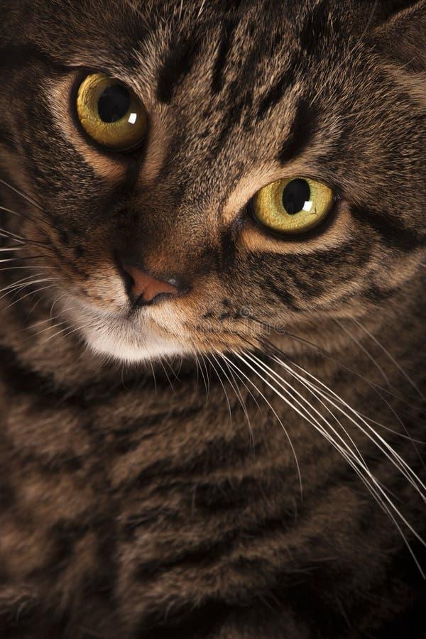 Στενό πορτρέτο μεγάλων κίτρινων ματιών των θηλυκών τιγρέ γατών στοκ φωτογραφίες με δικαίωμα ελεύθερης χρήσης