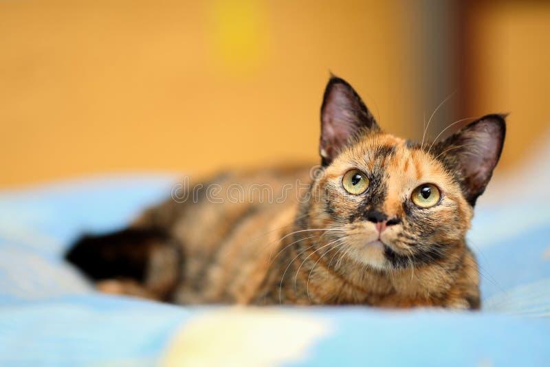 Στενό πορτρέτο μιας όμορφης γάτας ταρταρουγών με τα μεγάλα, στρογγυλά διχρωματικά κίτρινα και πράσινα χρωματισμένα μάτια ματιών στοκ εικόνες με δικαίωμα ελεύθερης χρήσης