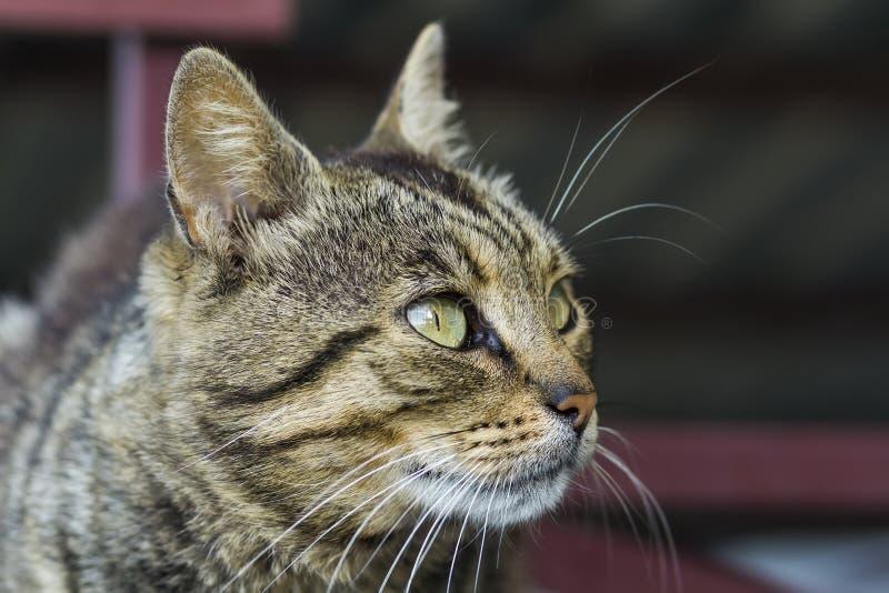 στενό πορτρέτο περιοδικών απεικόνισης γατών ζώων επάνω Ζώο της Pet στοκ εικόνες