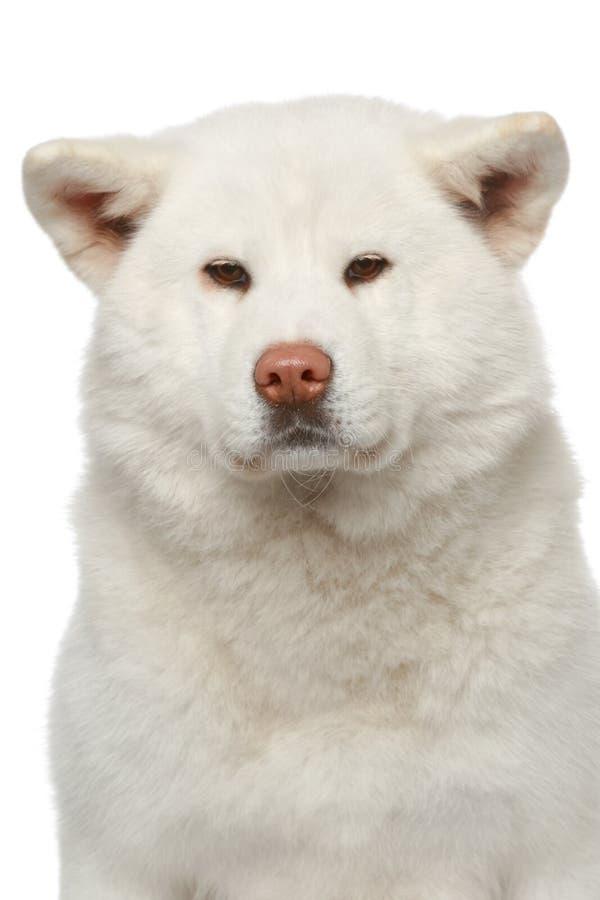 στενό πορτρέτο inu σκυλιών akita &epsil στοκ φωτογραφία με δικαίωμα ελεύθερης χρήσης
