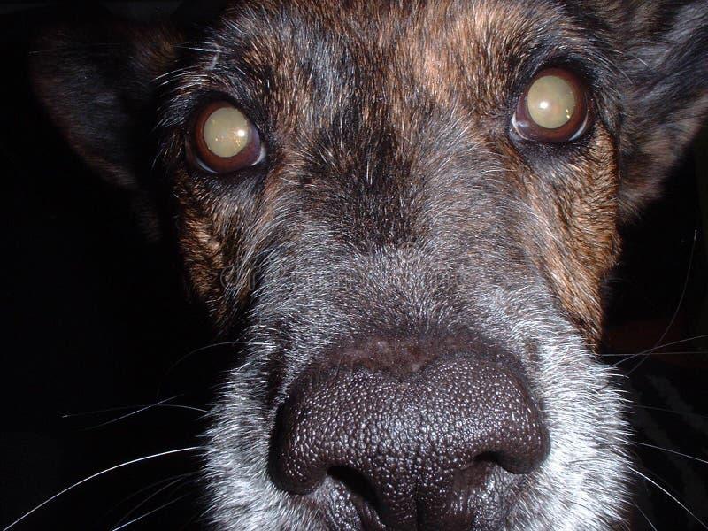 στενό πρόσωπο σκυλιών - επάνω στοκ εικόνα