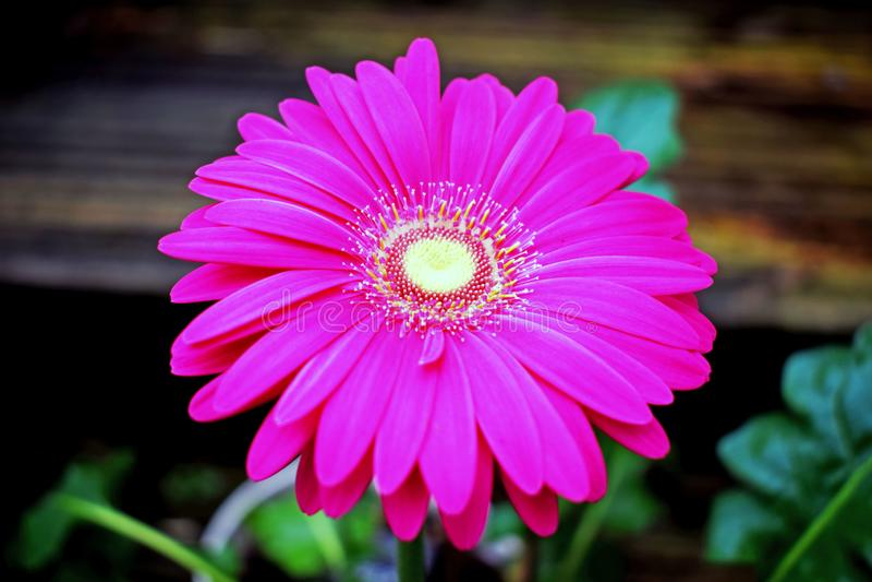 στενό ροζ λουλουδιών ε&p στοκ εικόνες
