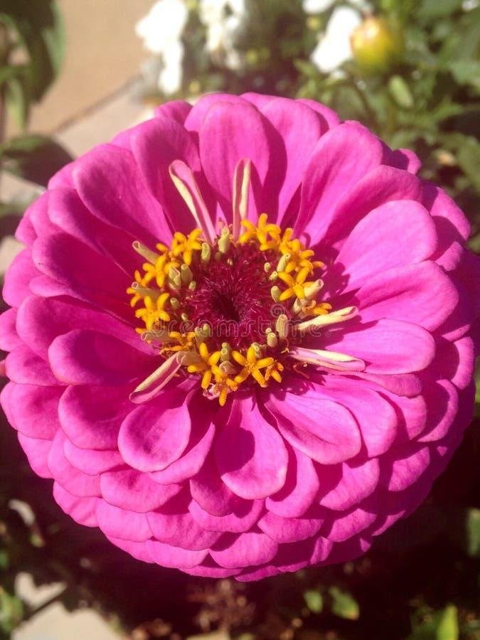 στενό ροζ λουλουδιών ε& στοκ φωτογραφία με δικαίωμα ελεύθερης χρήσης