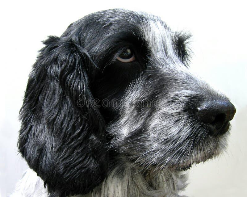 στενό σκυλί επάνω στοκ εικόνα με δικαίωμα ελεύθερης χρήσης