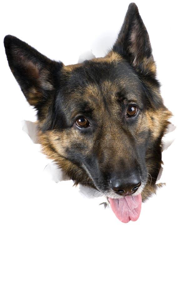 στενό σκυλί επάνω στοκ εικόνες