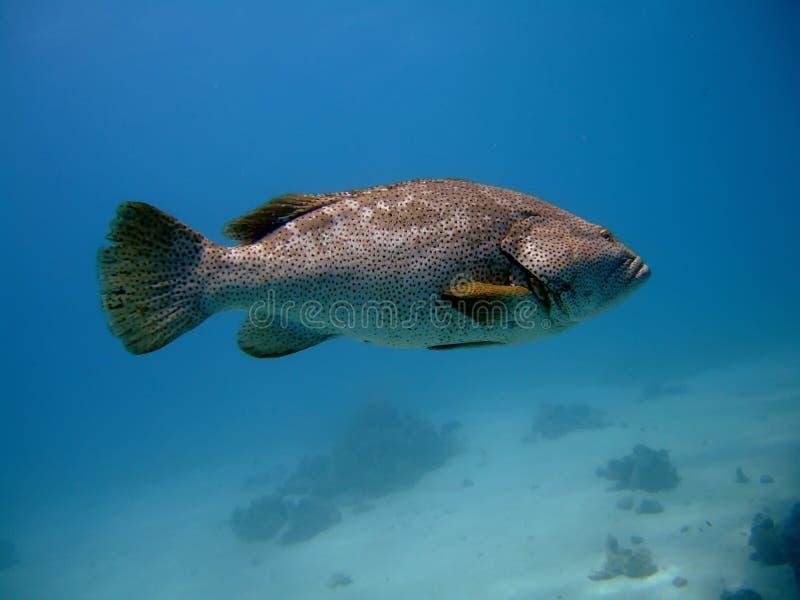 στενό grouper επάνω στοκ φωτογραφία