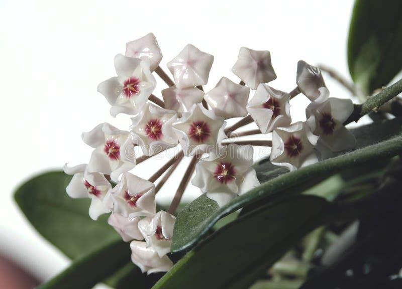 στενό hoya λουλουδιών φυτό &epsil στοκ εικόνα