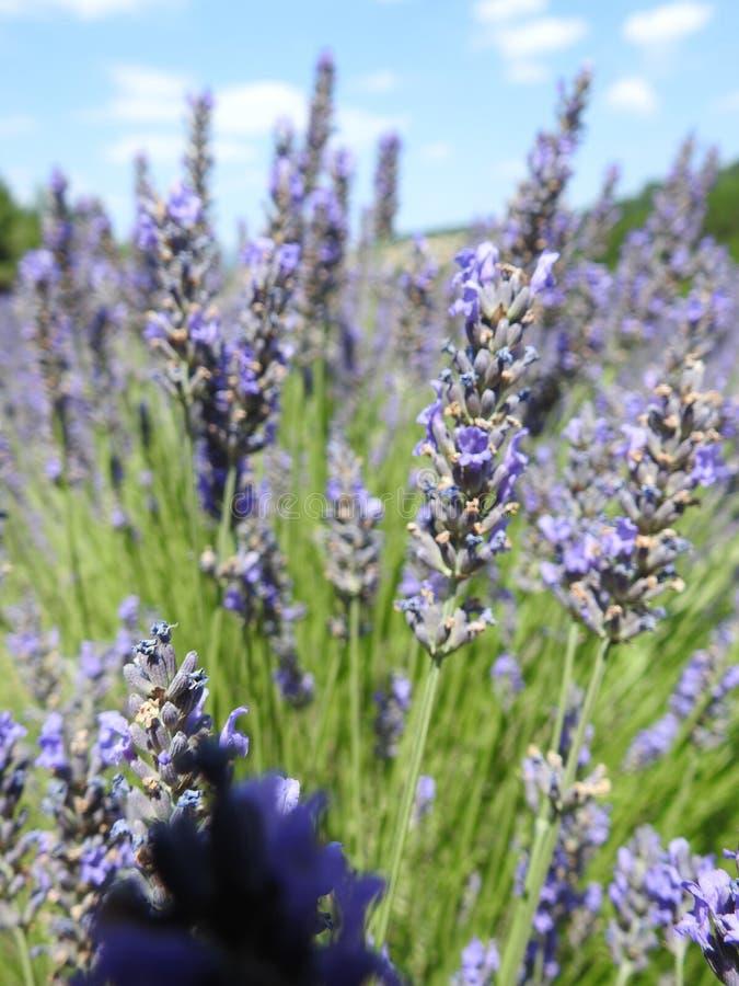 στενό lavender επάνω στοκ φωτογραφία