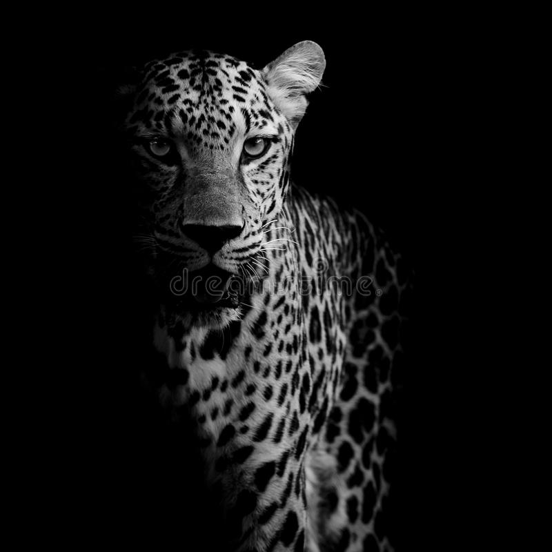 στενό leopard πορτρέτο επάνω στοκ εικόνα με δικαίωμα ελεύθερης χρήσης