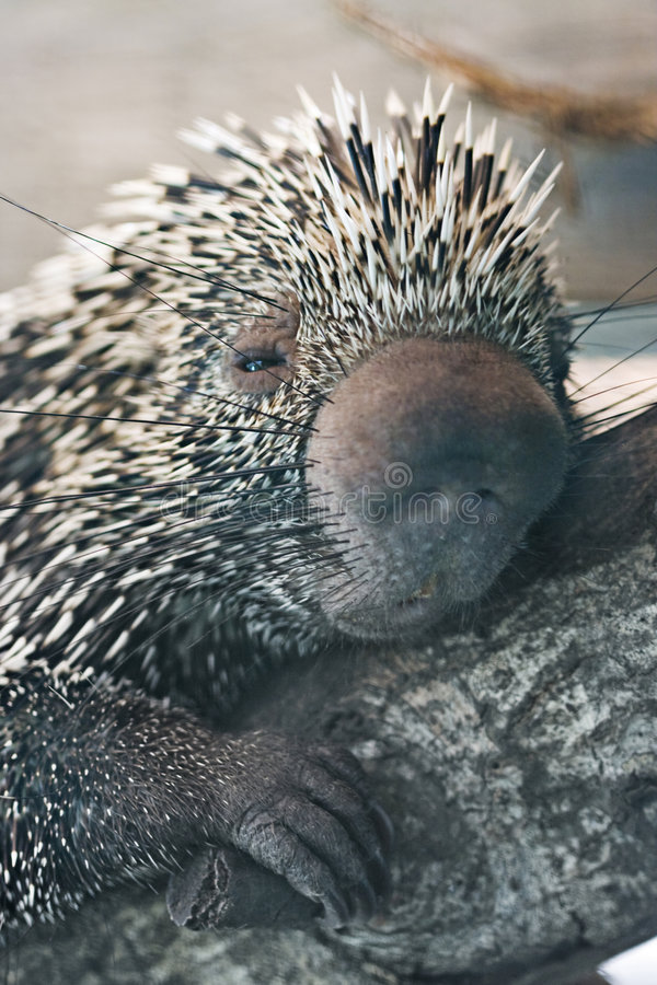 στενό porcupine επάνω στοκ εικόνες με δικαίωμα ελεύθερης χρήσης