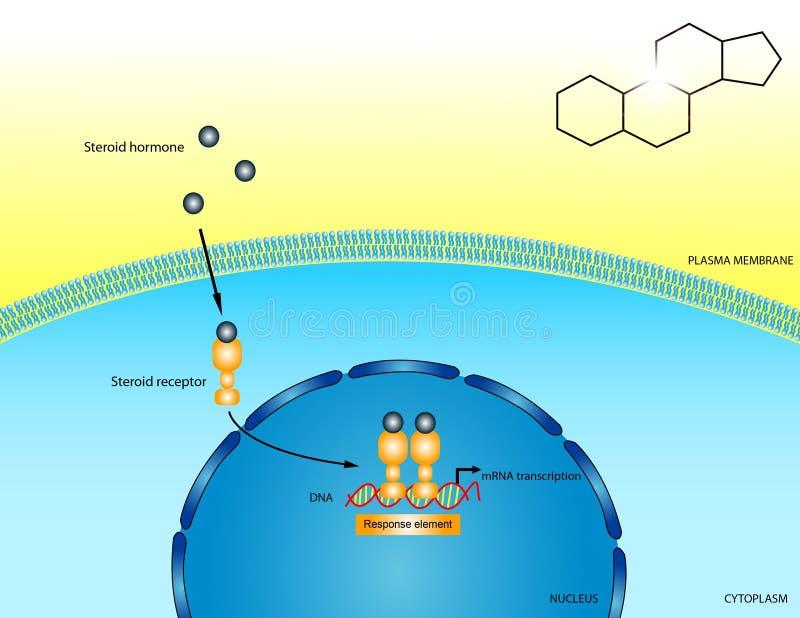 στεροειδές ορμονών απεικόνιση αποθεμάτων