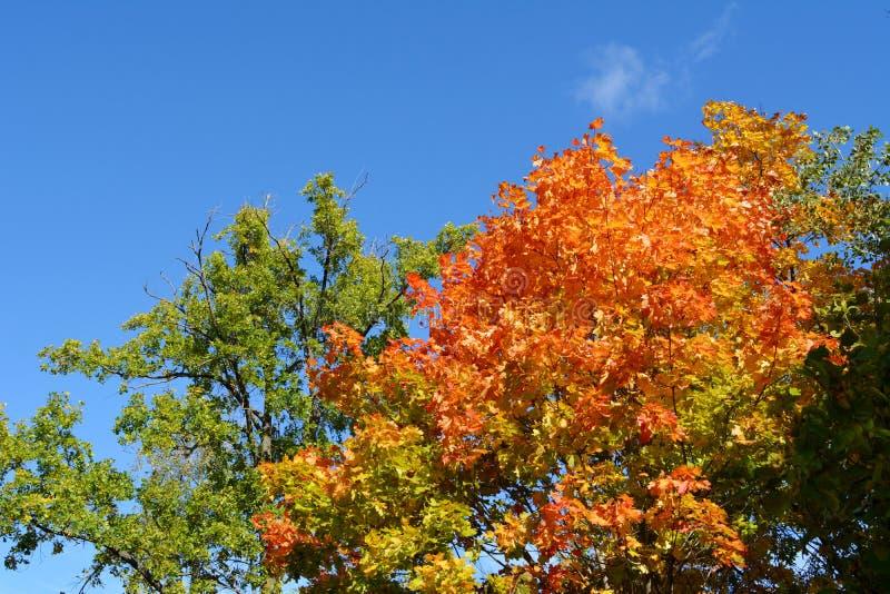Στην άκρη του καλοκαιριού και του φθινοπώρου Πράσινο φύλλωμα του δρύινου δέντρου και των πορτοκαλιών φύλλων σφενδάμου Δάσος στη Ρ στοκ φωτογραφία με δικαίωμα ελεύθερης χρήσης