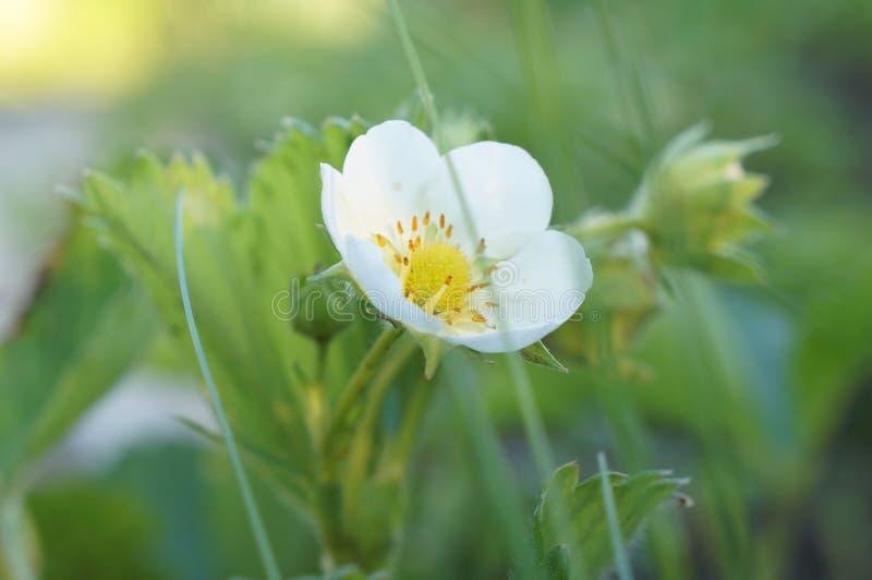 Στιγμιότυπο άνοιξη ενός λουλουδιού φραουλών στοκ φωτογραφίες με δικαίωμα ελεύθερης χρήσης