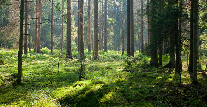 στις αρχές δασικού πρωιν&omic στοκ εικόνα