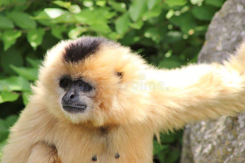 Στιλβωμένος-gibbon να κρεμάσει έξω κυριολεκτικά! στοκ φωτογραφίες