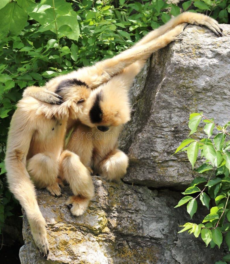 Στιλβωμένος-gibbon να κρεμάσει έξω κυριολεκτικά! στοκ εικόνα με δικαίωμα ελεύθερης χρήσης