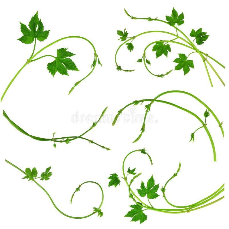 Στοιχεία διακοσμήσεων λυκίσκου Κλάδοι διαιρετών με τα φύλλα των λυκίσκων απομονωμένος χωρίς μια σκιά Μεγάλο σύνολο ελεύθερη απεικόνιση δικαιώματος