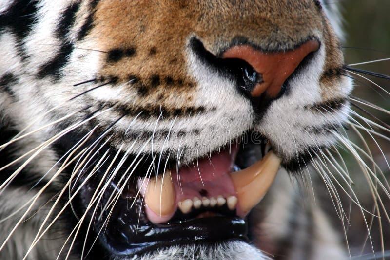 στοματική τίγρη στοκ εικόνα