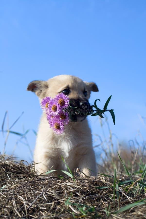 στοματικό κουτάβι λουλ στοκ εικόνα
