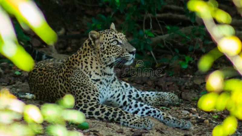 Στοχαστική λεοπάρδαλη στοκ εικόνα με δικαίωμα ελεύθερης χρήσης