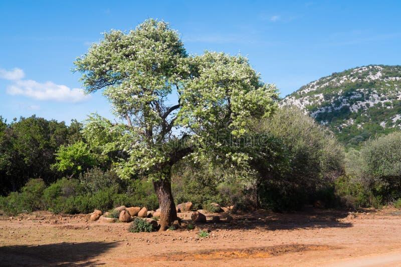 Στο δέντρο λουλουδιών στη Σαρδηνία στοκ φωτογραφία με δικαίωμα ελεύθερης χρήσης