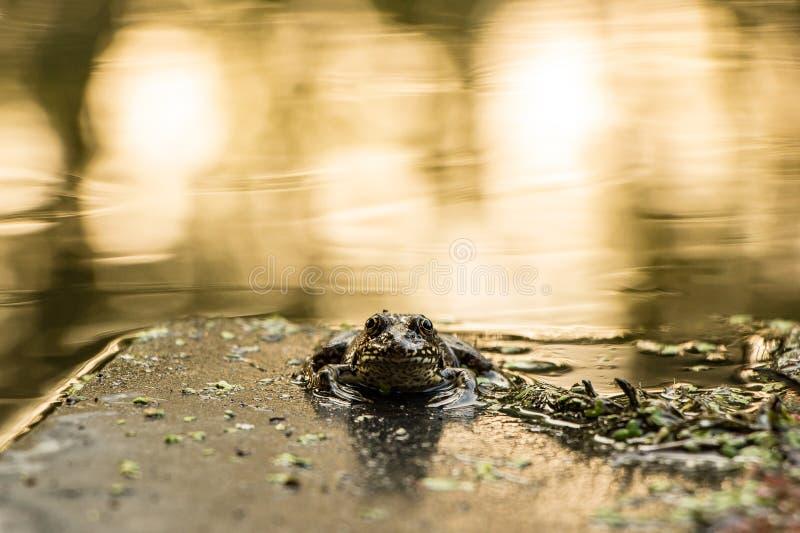 Στο ηλιοβασίλεμα, ένας βάτραχος κοιτάζει στοκ εικόνα