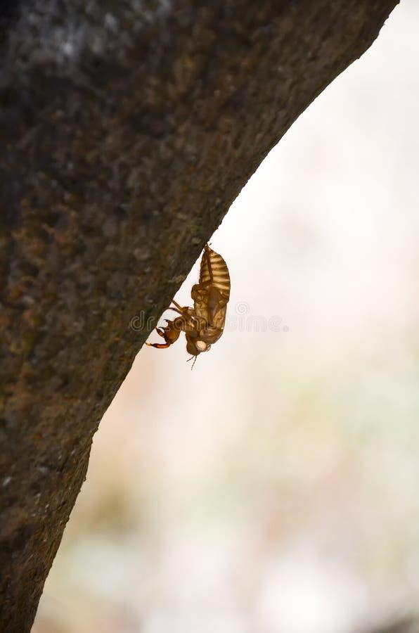 Στο νησί της Κρήτης περιέχετε έναν μεγάλο αριθμό cicadas στοκ εικόνες με δικαίωμα ελεύθερης χρήσης
