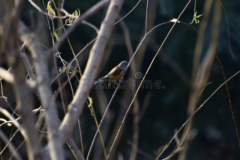 Στο πάρκο τα θηλυκά Songbird Brambling στοκ εικόνα