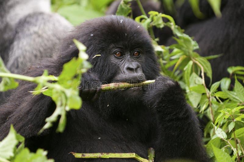 Στο πάρκο virunga ένας μικρός γορίλλας τρώει τους κλαδίσκους στοκ φωτογραφία με δικαίωμα ελεύθερης χρήσης