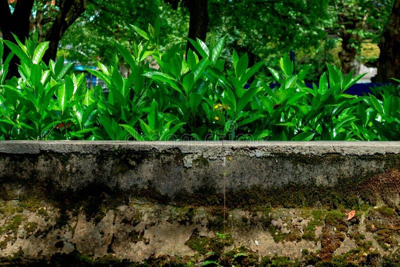 Στο τοίχος-Loropetalum chinense στοκ εικόνες με δικαίωμα ελεύθερης χρήσης