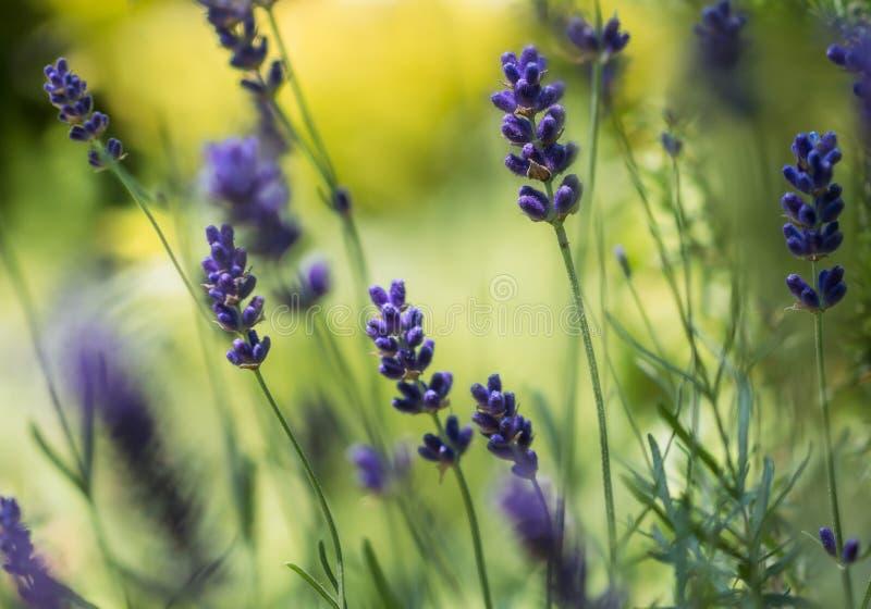 Στο Lavender άλσος στοκ φωτογραφία με δικαίωμα ελεύθερης χρήσης