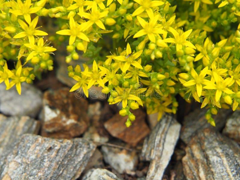 Στρέμμα Sedum - goldmoss stonecrop, mossy stonecrop στοκ φωτογραφίες με δικαίωμα ελεύθερης χρήσης