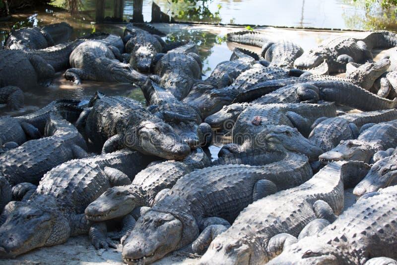 Στραγγίξτε Gators στοκ φωτογραφίες με δικαίωμα ελεύθερης χρήσης