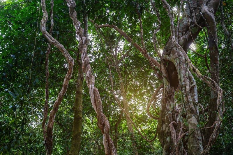 Στριμμένες άγριες εγκαταστάσεις αμπέλων ζουγκλών της Λιάνα ακατάστατες με τη λειχήνα στο μεθύστακα στοκ φωτογραφία