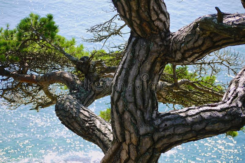 Στριμμένος κορμός πεύκων σε ένα υπόβαθρο της τυρκουάζ θάλασσας μια ηλιόλουστη ημέρα, στοκ φωτογραφίες με δικαίωμα ελεύθερης χρήσης