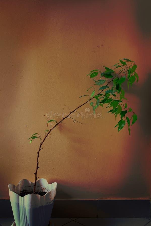Στριμμένος houseplant στο δοχείο στο υπόβαθρο του τοίχου στοκ φωτογραφίες