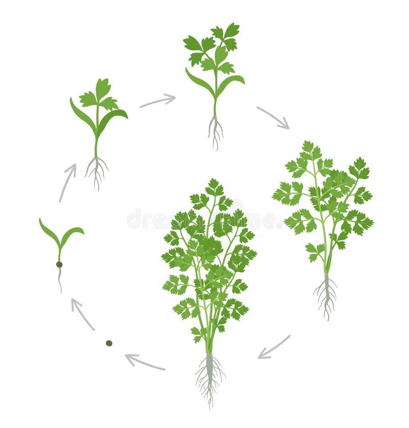 Στρογγυλά στάδια συγκομιδών του μαϊντανού Αυξανόμενες εγκαταστάσεις μαϊντανού κήπων Αύξηση συγκομιδών Petroselinum crispum r διανυσματική απεικόνιση