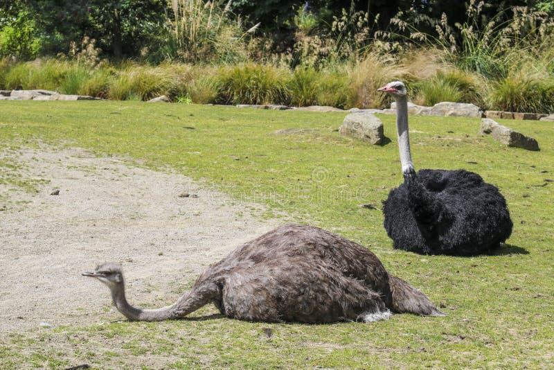 Στρουθοκάμηλος δύο σε έναν ζωολογικό κήπο, στοκ φωτογραφία με δικαίωμα ελεύθερης χρήσης