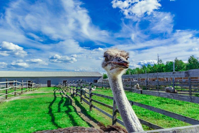 Στρουθοκάμηλος σε ένα αγρόκτημα στοκ εικόνα με δικαίωμα ελεύθερης χρήσης